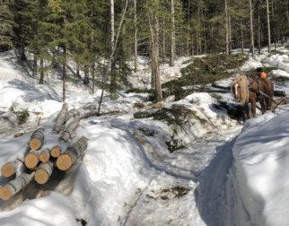 Hest drar tømmer i skogen.
