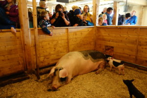Barn på besøk hos grisen i fjøset på Maihaugen, Lillehammer.