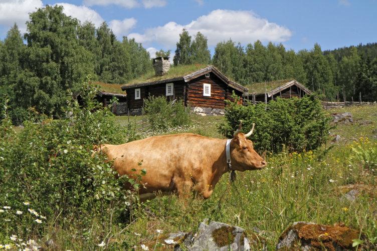 Ku på setervollen på Maihaugen, Lillehammer.