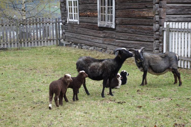 Sauer med lam på Maihaugen, Lillehammer.