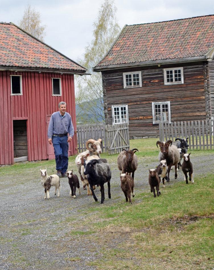 Sauer som løper i saueslipp på våren på Maihaugen på Lillehammer