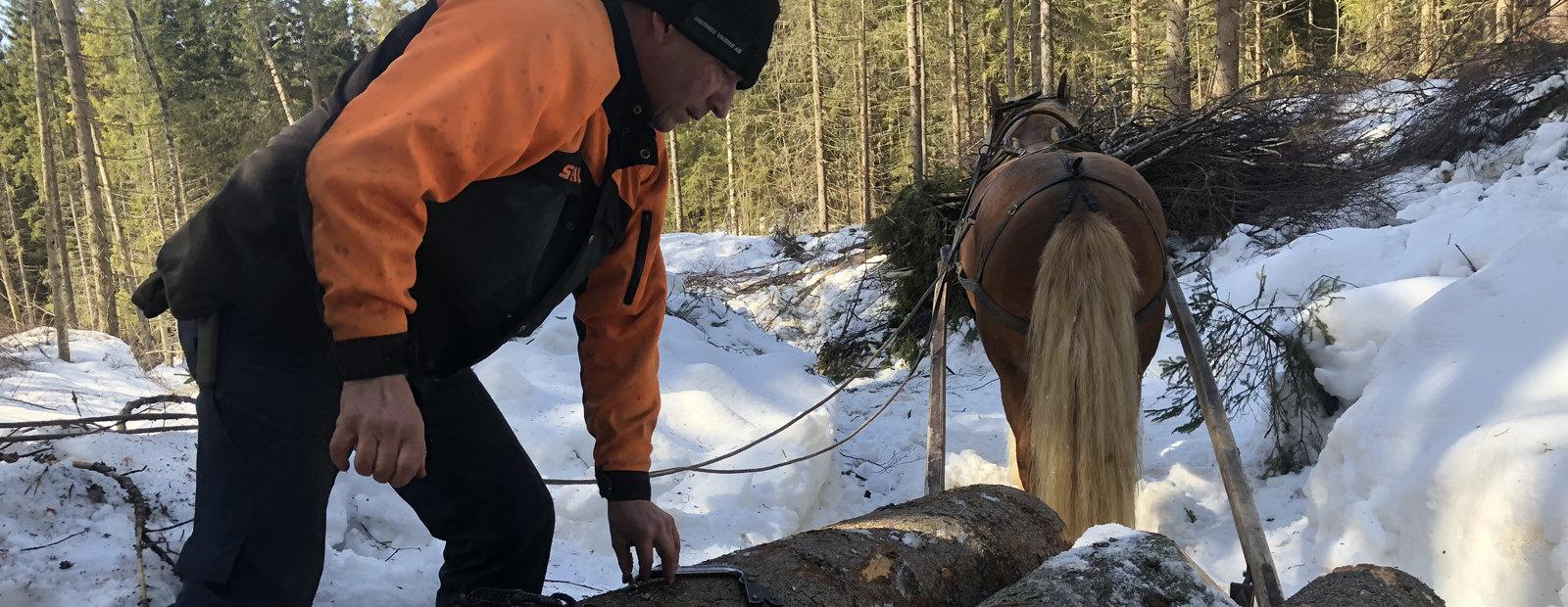 Skogsarbeider fester tre tømmerstokker bak en hest.