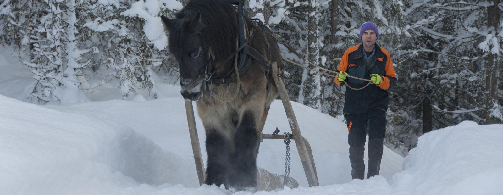 En dølahest trekker tømmer i vinterskogen på friluftsmuseet Maihaugen på Lillehammer.