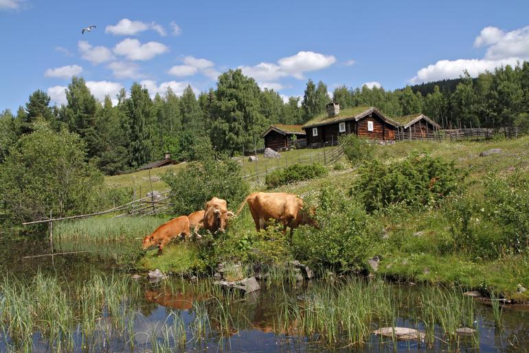 Kuer som gresser på setervollen inne på friluftsmuseet på Maihaugen på Lillehammer.